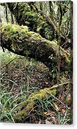 El Yunque National Forest Canvas Print by Thomas R Fletcher