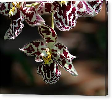 Exotic Orchids Of C Ribet Canvas Print by C Ribet