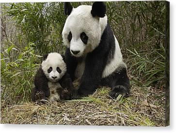 Giant Panda Ailuropoda Melanoleuca Canvas Print by Katherine Feng