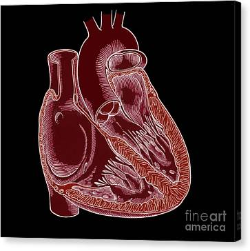 Illustration Of Heart Anatomy Canvas Print by Science Source