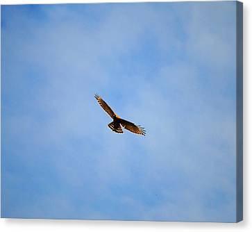 Red Shouldered Hawk In Flight Canvas Print by Jai Johnson