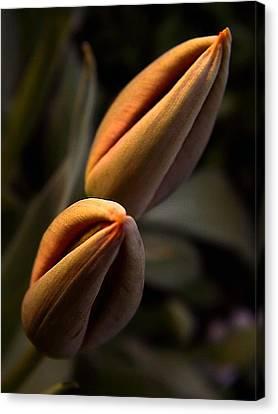 Tulips Canvas Print by Odon Czintos