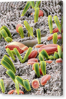 Diatoms, Sem Canvas Print by Steve Gschmeissner