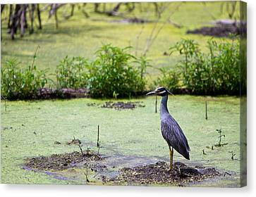 A Blue Bird In A Wetland -yellow-crowned Night Heron  Canvas Print by Ellie Teramoto