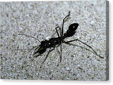 A Bull Ant With Jaws Opened Canvas Print by Jason Edwards