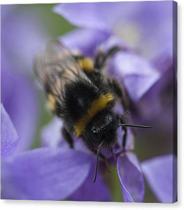 A Busy Bee Canvas Print by Zoe Ferrie