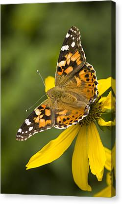 A Butterfly Sits Atop A Yellow Canvas Print by Ralph Lee Hopkins