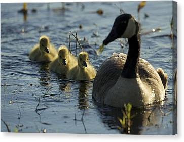 A Canada Goose Branta Canadensis Family Canvas Print by Tim Laman