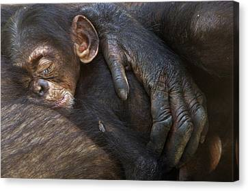 A Chimpanzee Infant Sleeping Canvas Print by Frans Lanting