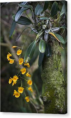 A Close View Of A Beautiful Dendrobium Canvas Print by Taylor S. Kennedy