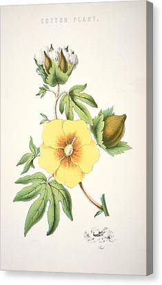 A Cotton Plant Canvas Print by American School