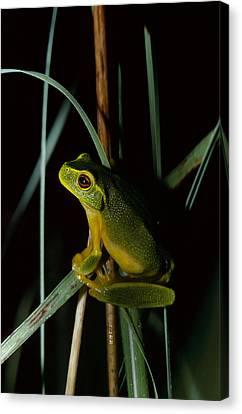 A Dainty Green Tree-frog Climbing Canvas Print by Jason Edwards