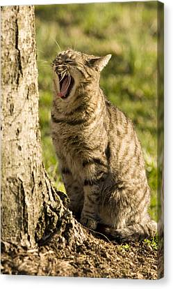 A Domestic Cat Yawning By A Tree Canvas Print by Tim Laman