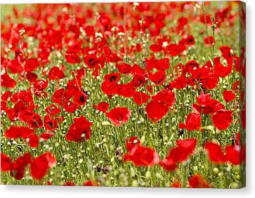 A Field Of Poppies Canvas Print by Richard Nowitz