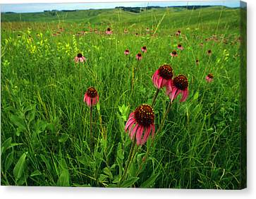 A Field Of Purple Coneflowers Canvas Print by Annie Griffiths