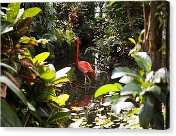 A Flamingo Wades In Shallow Water Canvas Print by Taylor S. Kennedy