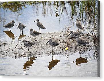 A Fling Of Long Billed Dowitchers Canvas Print by Roena King