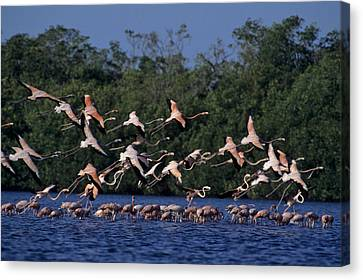 A Flock Of Flamingos Phoenicopterus Canvas Print by Kenneth Garrett
