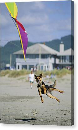 A German Shepherd Leaps For A Kite Canvas Print by Phil Schermeister