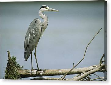 A Graceful Gray Heron Standing On A Log Canvas Print by Klaus Nigge