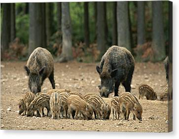 A Group Of Young Wild Boars Nose Canvas Print by Norbert Rosing
