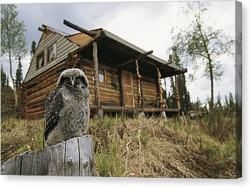 A Hawk Owl Sits On A Stump Near A Log Canvas Print by Michael S. Quinton