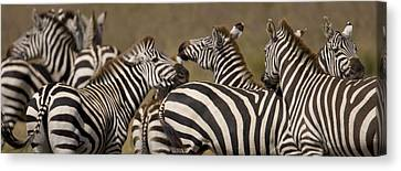 A Herd Of Zebra Stand In A Plain Canvas Print by Ralph Lee Hopkins