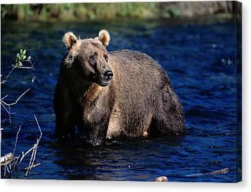 A Kodiak Brown Bear Wades In An Alaska Canvas Print by George F. Mobley