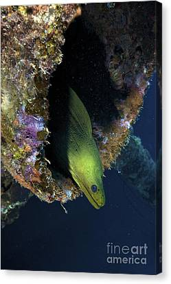 A Large Green Moray Eel Canvas Print by Terry Moore