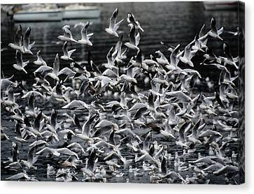 A Large Group Of Black-headed Gulls Canvas Print by Tim Laman