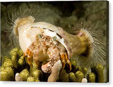 A Large Hermit Crab With Sea Anemones Canvas Print by Tim Laman