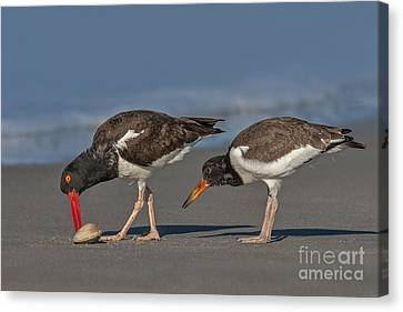 A Lesson In Fine Dinning Canvas Print by Susan Candelario