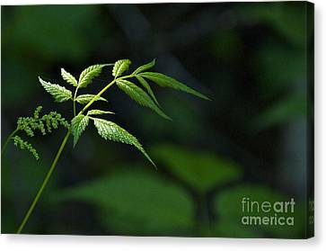 A Light In The Forest Canvas Print by Sean Griffin