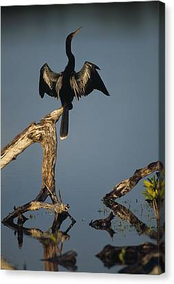 A Male Anhinga Perches On A Tree Stump Canvas Print by Klaus Nigge