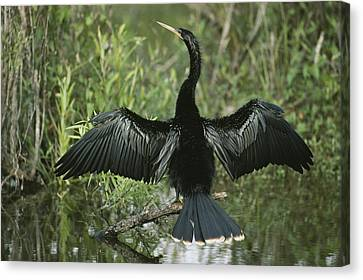 A Male Anhinga Spreads Its Wings While Canvas Print by Klaus Nigge