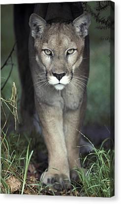 A Mesmerising Glare Of A Stalking Puma Canvas Print by Jason Edwards