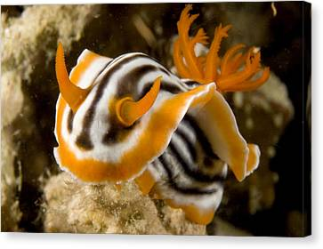 A Nudibranch Crawls Over The Reef Canvas Print by Tim Laman