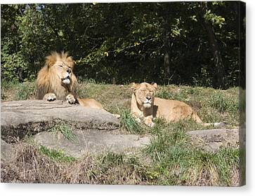 A Pair Of Lions In The Pittsburgh Zoo Canvas Print by Stacy Gold