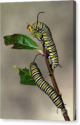 A Pair Of Monarch Caterpillars Canvas Print by Sabrina L Ryan