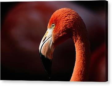 A Portrait Of A Captive Greater Canvas Print by Tim Laman