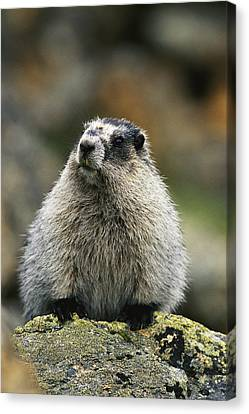 A Portrait Of A Hoary Marmot Sitting Canvas Print by Michael S. Quinton