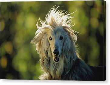 A Portrait Of An Afghan Hound Canvas Print by Joel Sartore
