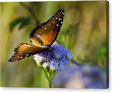 A Queen Butterfly  Canvas Print by Saija  Lehtonen