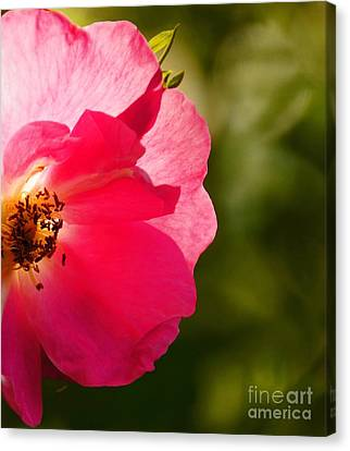 A Rose 4 U Canvas Print by Diane Stresing