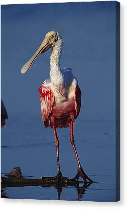 A Roseate Spoonbill Wades The Mud Canvas Print by Klaus Nigge