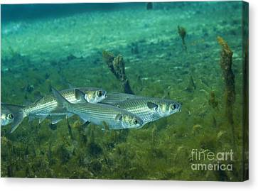 A School Of Striped Mullet Wim Canvas Print by Michael Wood