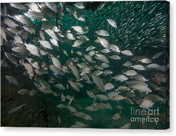 A School Of Tomtate And Glass Minnows Canvas Print by Michael Wood