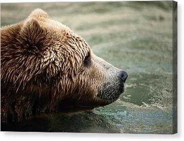A Side-view Of A Captive Kodiak Bear Canvas Print by Tim Laman