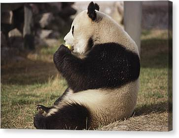 A Side View Of A Panda Bear Sitting Canvas Print by Todd Gipstein