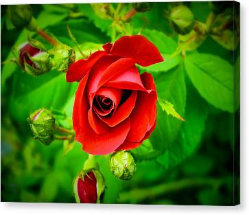 A Single Red Rose Blooming Canvas Print by Chantal PhotoPix